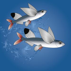 sailfin-flyingfish3
